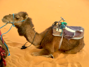 New Form of Transport Camel 2018 New Year's Resolution