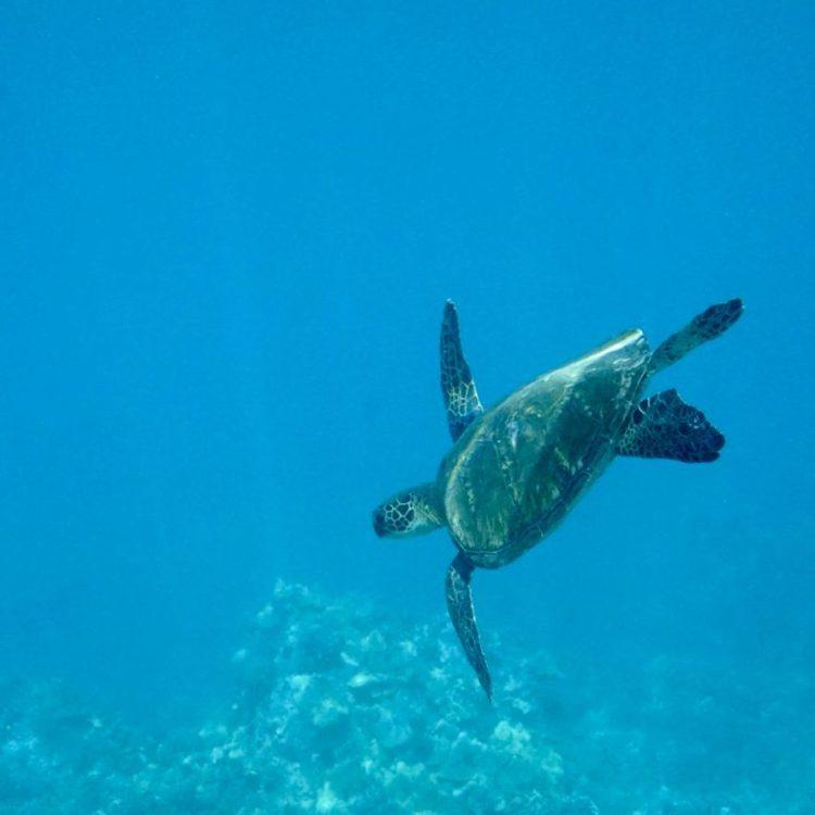 Where to See Turtles on Oahu Underwater