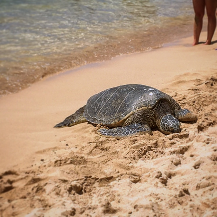 Where to See Turtles on Oahu Opener