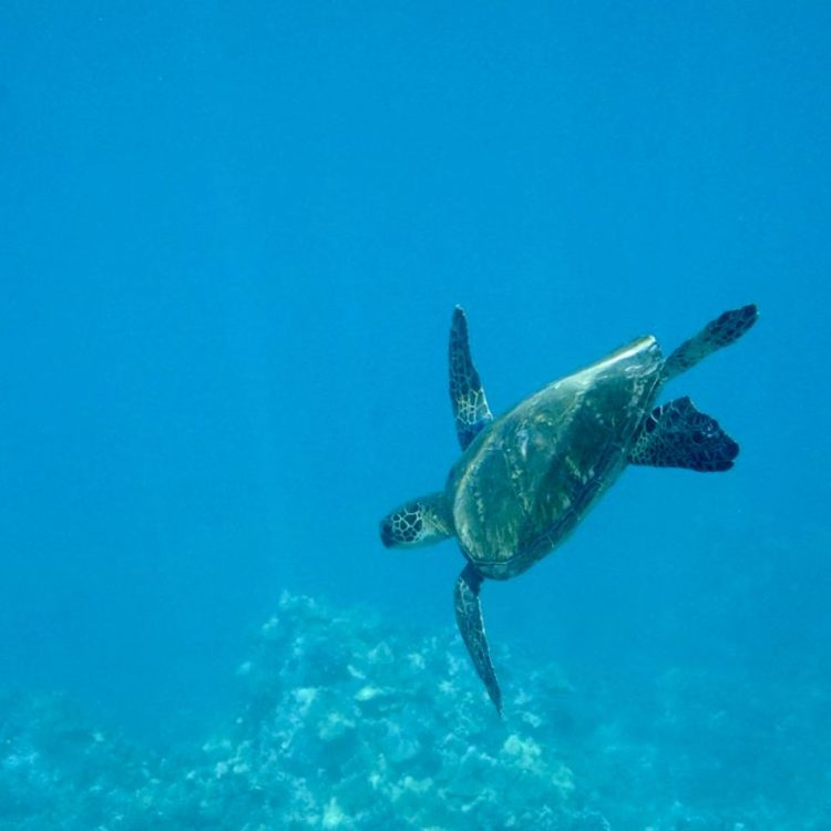 Where to See Turtles on Oahu Underwater