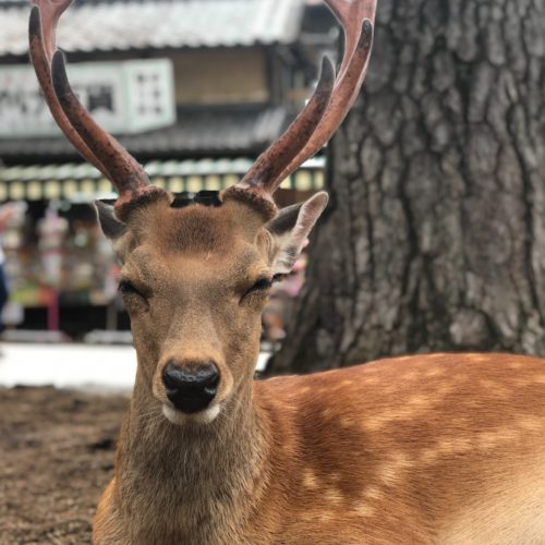 Feed the Deer in Nara Park