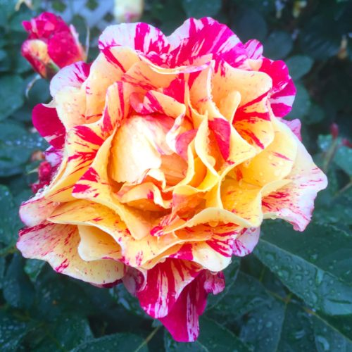 Former British Consulate Roses