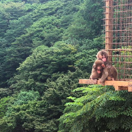 Iwatayama Monkey Park Opener