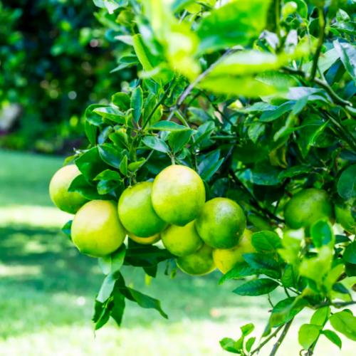 limes on a tree