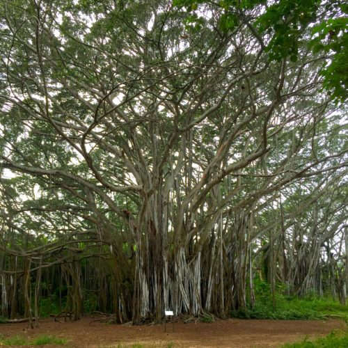 huge Banyan tree from LOST