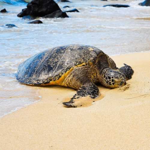turtle relaxing on sand at Laniakea Beach