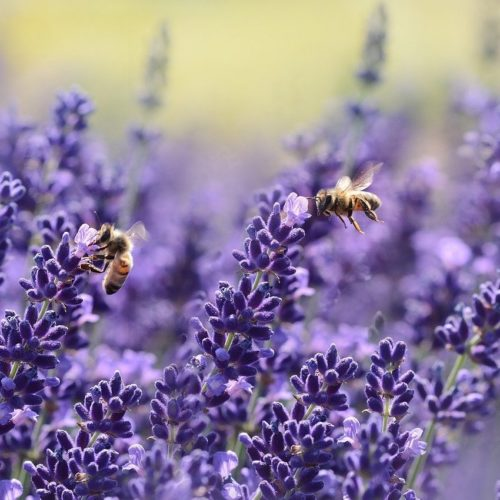 lavender plants with bees Hawaii farms