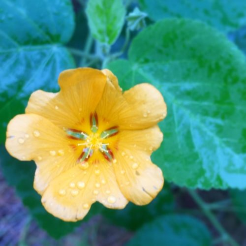 bright yellow flower with green leaves in background things to do on Kauai